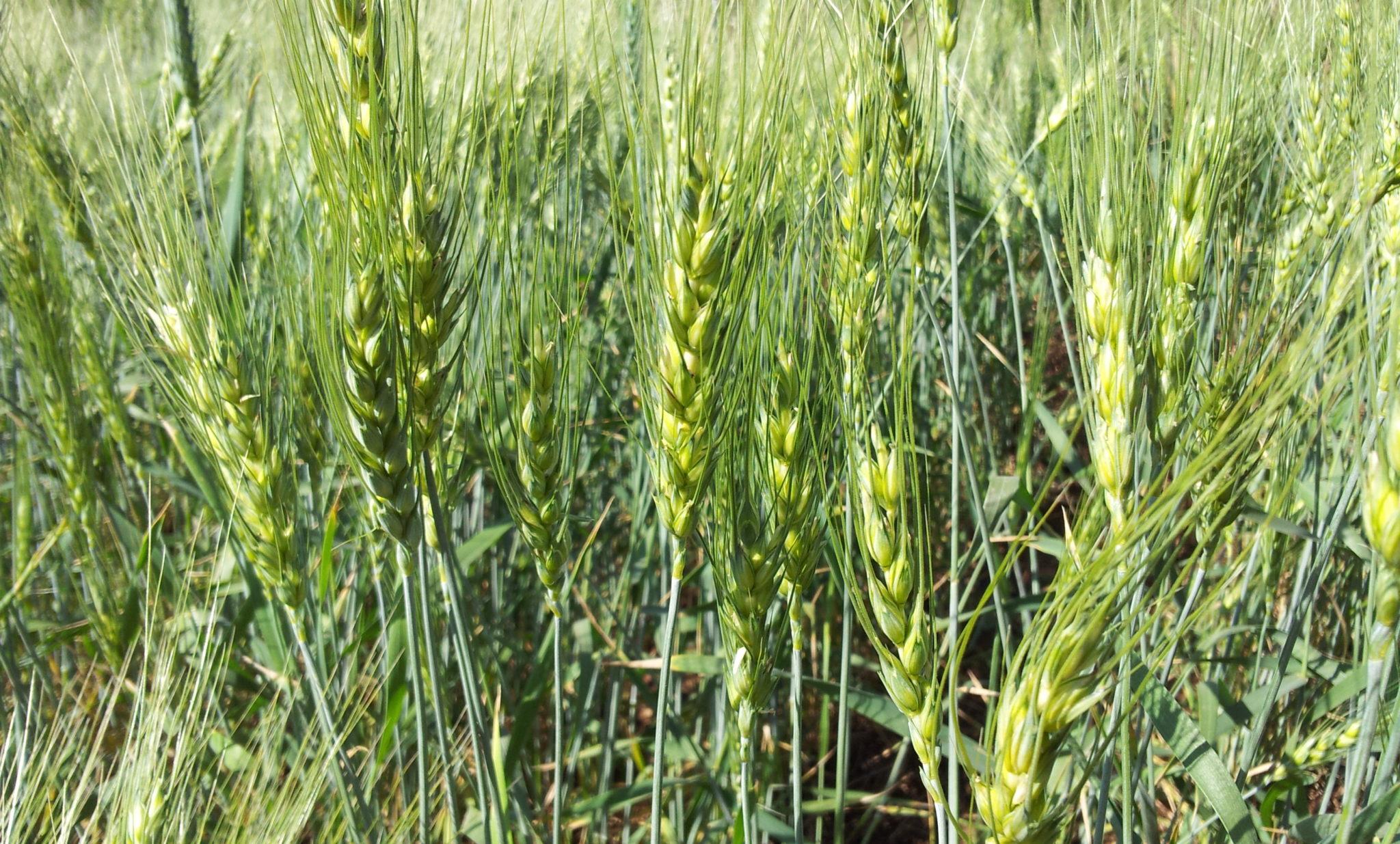 Young_Wheat_crop_in_a_field_near_Solapur,_Maharashtra,_India