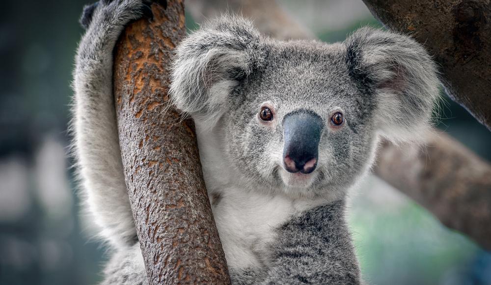 A,Cute,Koala.