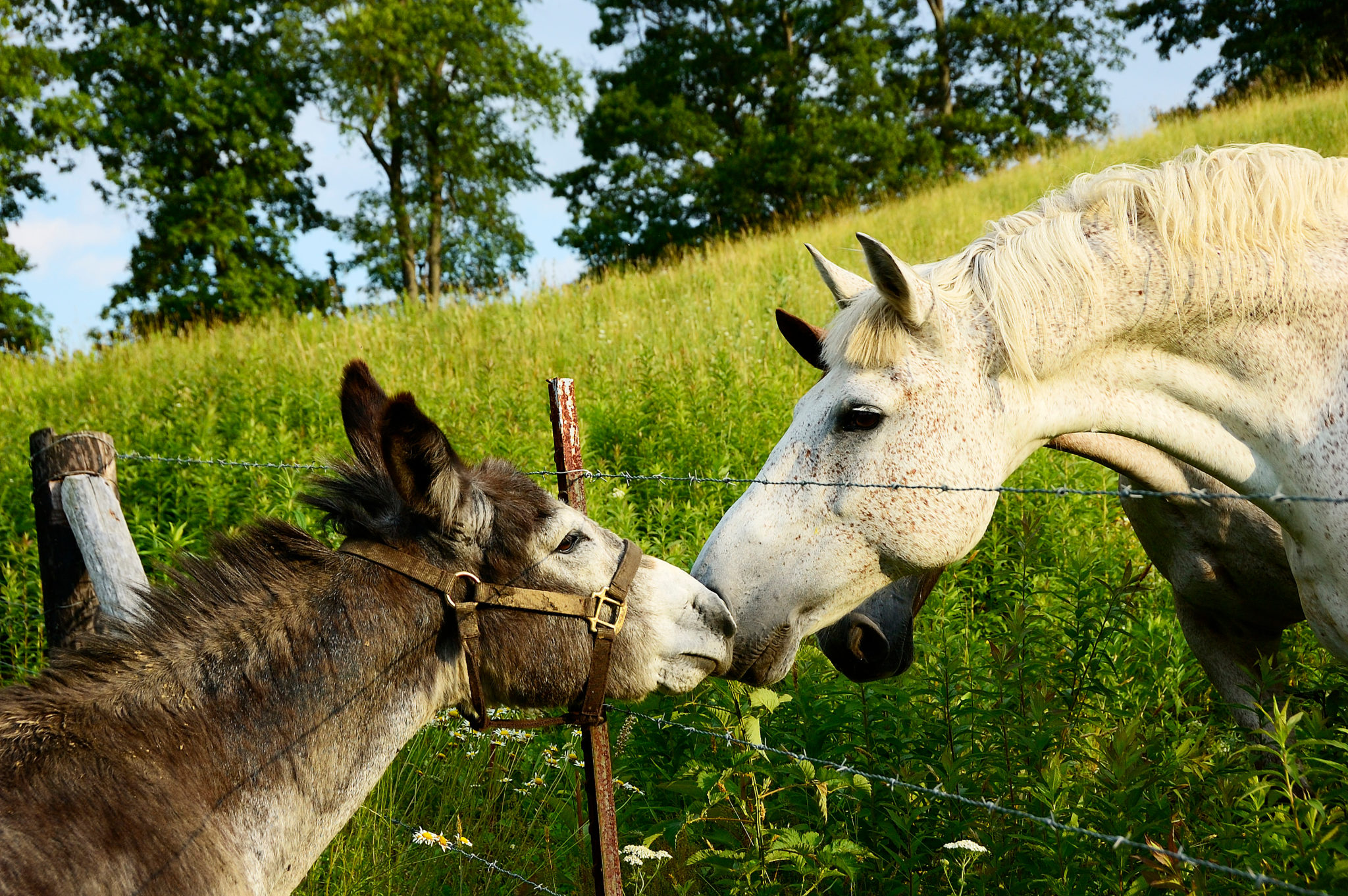Meeting,The,Neighbors,,Donkey,And,Horses,,Summer,Evening,On,The