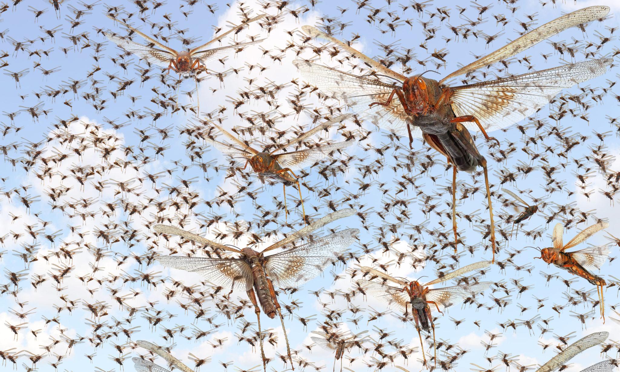 Migratory,Locust,Swarm.,Locusta,Migratoria.,Acrididae.,Oedipodinae.,Agriculture,And,Pest