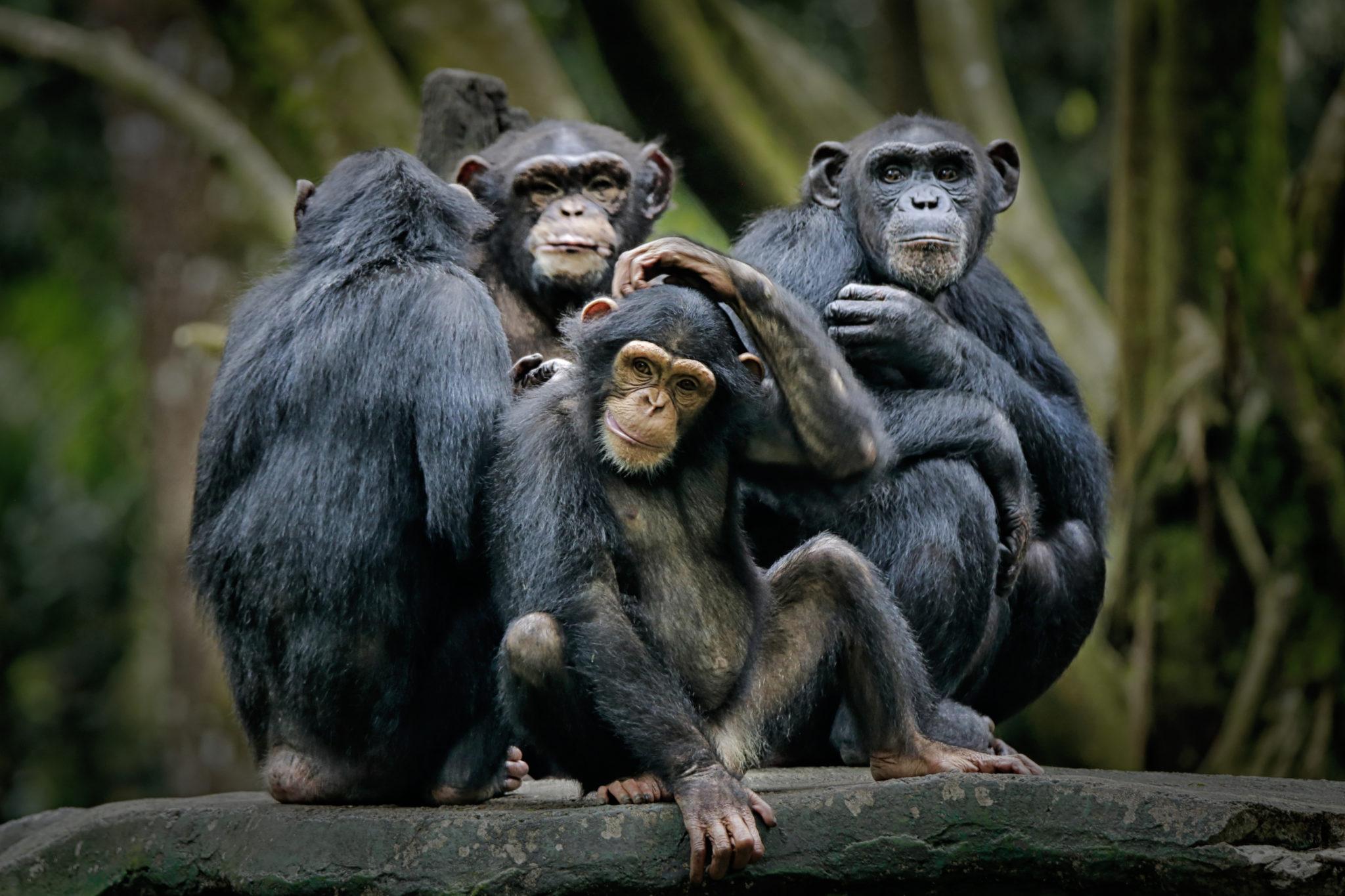 Chimpanzee,Consists,Of,Two,Extant,Species:,Common,Chimpanzee,And,Bonobo.
